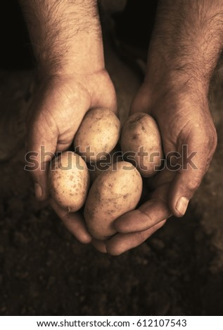 Hands holding fresh potatoes just dug out of the ground