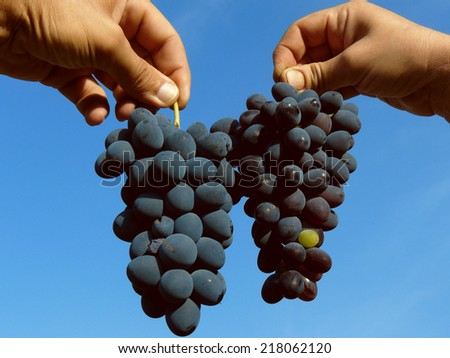 hands holding grapes clusters of different varieties - stock photo
