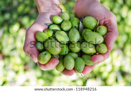 Hands holding green olives