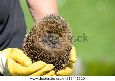 Hands holding hedgehog fixed - stock photo