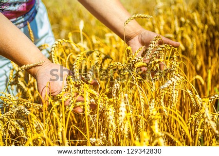 hands holding plants of wheat - stock photo