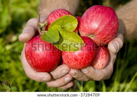 Hands holding red apples - stock photo