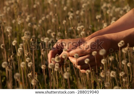 Hands holding small dandelion in the field of small brown dandelions at sunset - stock photo