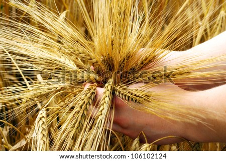 Hands holding young barley. - stock photo