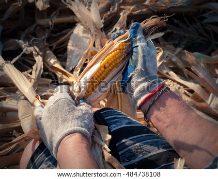 Hands in gloves cleans the corn from the leaves .