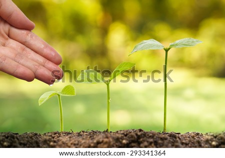 hands nurturing and watering young plants growing in germination sequence / Love and protect nature concept - stock photo