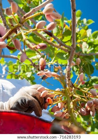 Hands of a farmer picking pistachios of Bronte,Sicily, during harvest season
