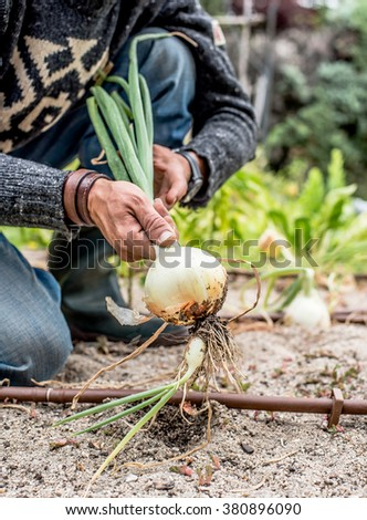 Hands of a young men harvesting mature onions in a vegetable garden. - stock photo