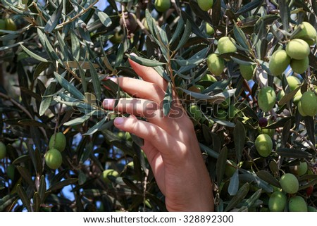 Hands of a young woman harvest olives, Israel, Middle East. Small DoF, focused on hand.  - stock photo