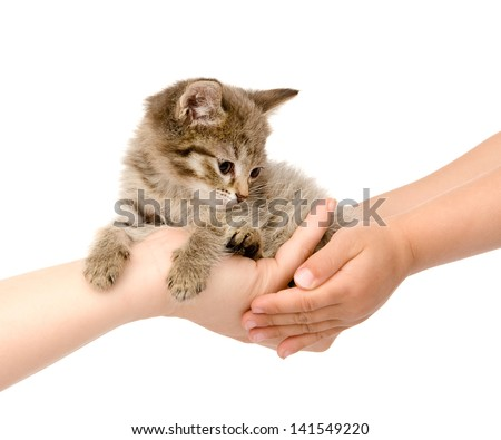 hands of an adult transfer kitten in the hands of the child. isolated on white background