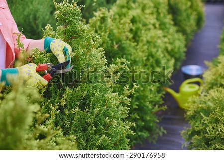 Hands of farmer cutting thuja branches with scissors