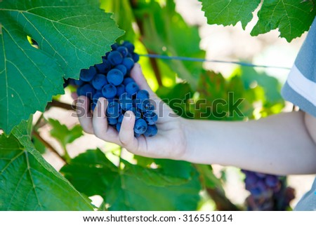 Hands of kid with blue grapes ready to harvest in an established winery - stock photo