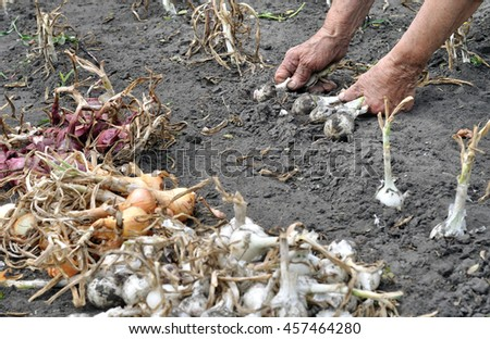 Hands of senior woman, harvesting ripe onion in the vegetable garden - stock photo