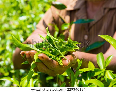Hands of women from the tea plantation - Sri Lanka