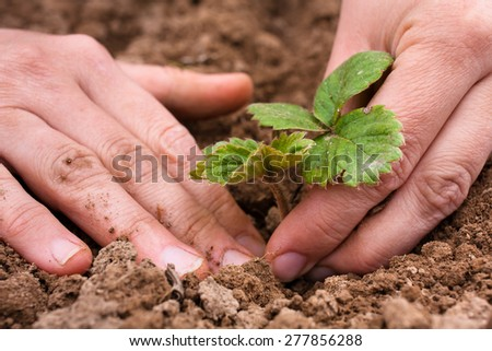 hands of women planting strawberry seedling  - stock photo