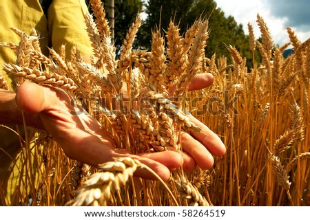 Hands on the golden wheat field