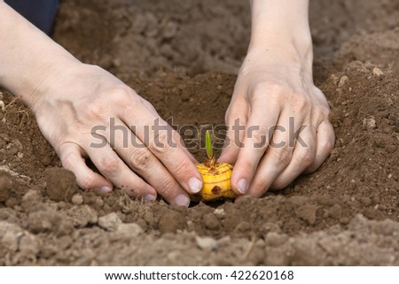 hands planting bulb of gladiolus in the garden - stock photo