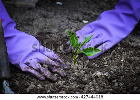 hands planting green pepper seedlings into the ground