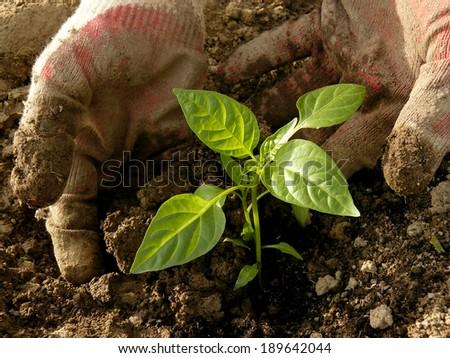 hands planting sweet pepper seedlings - stock photo