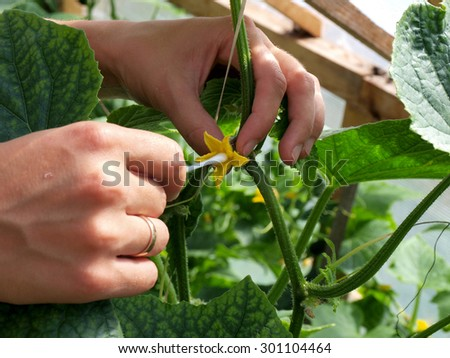 Hands pollinating cucumber blossoms by cotton stick close up. - stock photo
