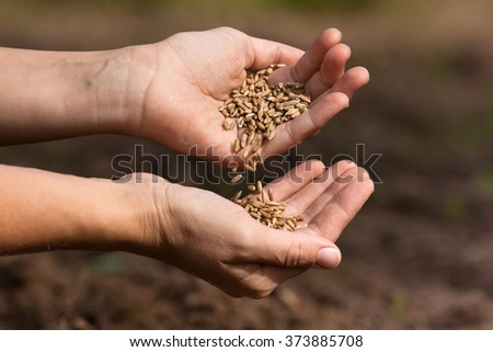 hands pouring rye grains, closeup