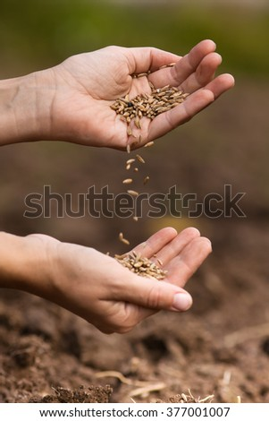 hands pouring rye grains on blurred background