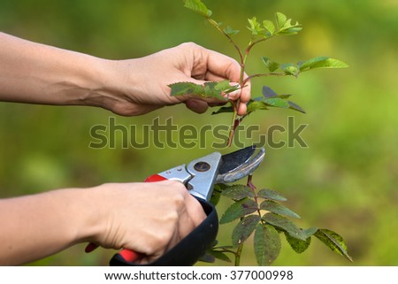 hands pruning garden rose branch with secateurs - stock photo
