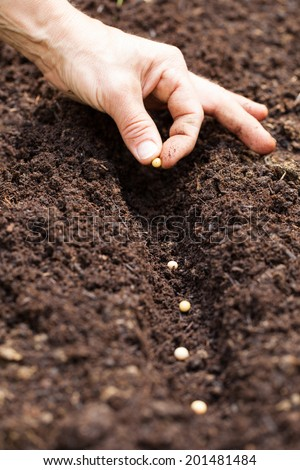 Hands putting seed in the ground - soy seed - stock photo