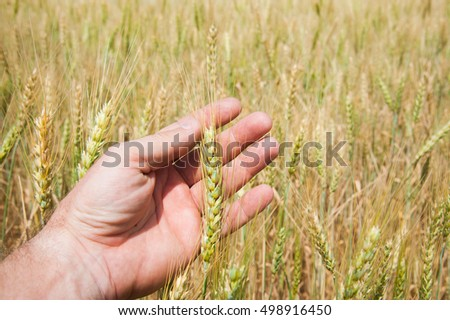 Hands touching golden wheat field, farmer enjoying great harvest