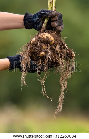 hands with digging bush potato - stock photo
