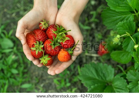 hands with fresh strawberries collected in the garden