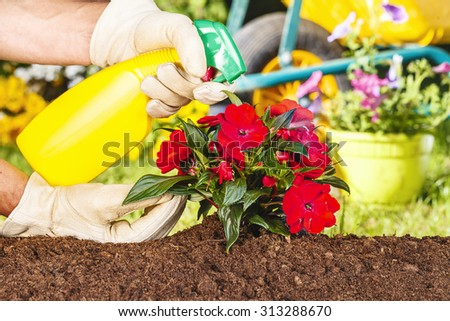 hands with gloves spraying red flowers in the garden - stock photo