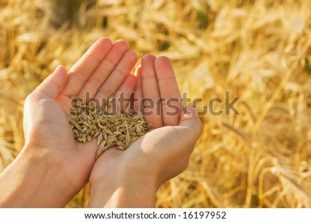 Hands with wheat on field background - stock photo