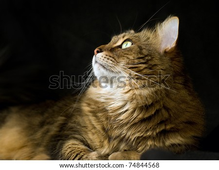 Handsome adult maine coon cat on black background looking up and to the left. - stock photo