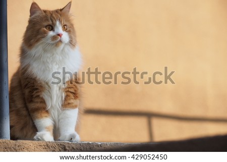 Handsome Bi Color Orange Long Haired Doll Face Traditional Persian Cat with Orange Eyes Standing on Ledge Looking to the Side - stock photo