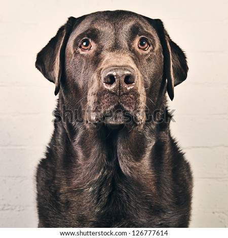 Handsome Chocolate Labrador - stock photo
