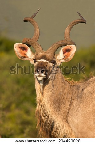 Handsome male kudu antelope with large spiraled horns - stock photo