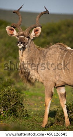 Handsome male kudu antelope with large spiraled horns