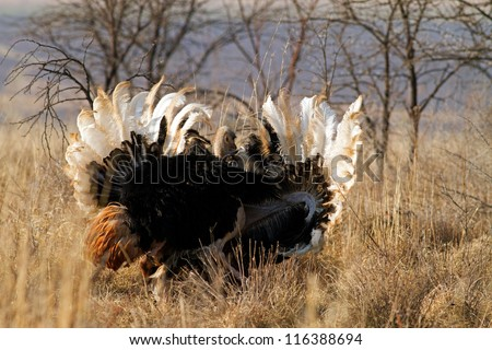 Handsome male ostrich with beautiful feathers displaying to it's mate - stock photo