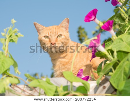 Handsome orange tabby cat peeking out from middle of flowers on top of a high trellis - stock photo