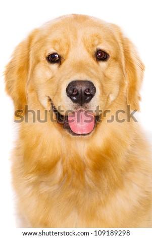 Handsome pure breed golden retriever dog - stock photo
