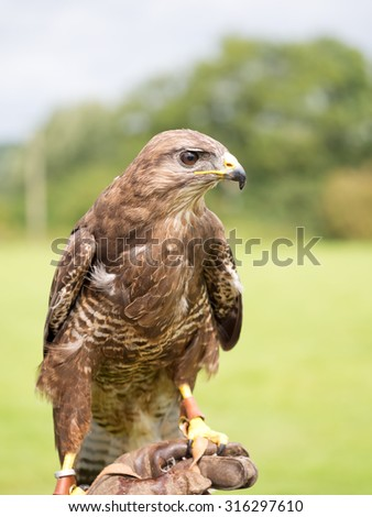 Handsome raptor. Buzzard on hand. Buteo buteo. In natural setting.