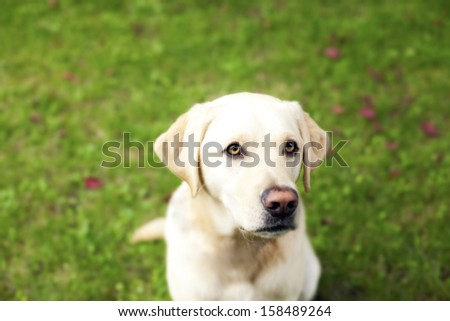 handsome yellow lab dog  - stock photo