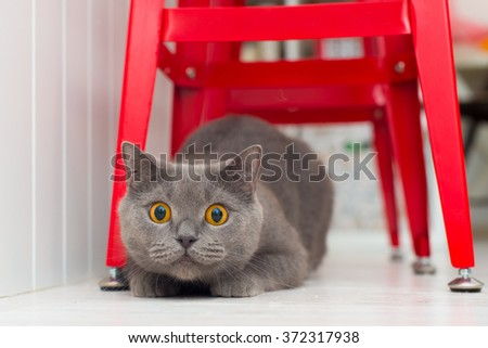 Handsome young British cat on the floor under the red bar stools looking into the camera hunts and plays with herself - stock photo