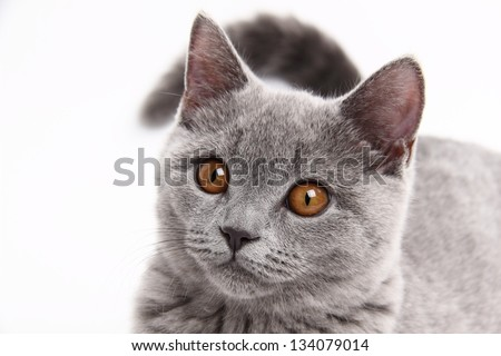 Handsome young house cat British breed isolated on white - stock photo