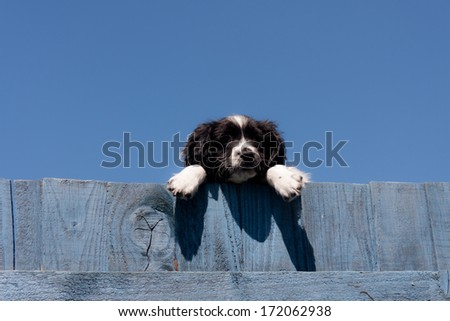 Hanging around-pretty spaniel puppy hangs over wooden blue painted fence on sunny summers day - stock photo
