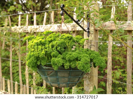 Beautiful Hanging Basket Of The Herb Parsley (Petroselinum Crispum) In The Fruit And  Vegetable Garden
