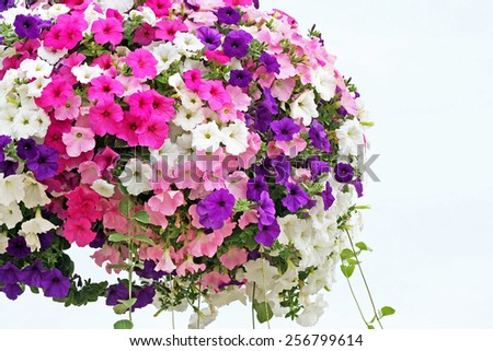 Hanging basket overflowing with colorful Petunia blooms - stock photo