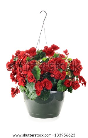 Hanging Basket with Begonias flowers isolated over a white background.
