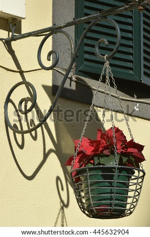 Hanging basket with poinsettia plant from wrought iron bracket in Madeira, Portugal